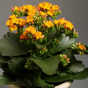 kalanchoe_pot_blooming_indoor_66824_1920x1420
